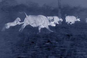 Cuộc chiến trong bóng tối giữa đàn sư tử và bầy trâu rừng
