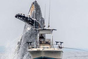 Cá voi lưng gù phi thân khỏi mặt nước, suýt nuốt trọn thuyền câu