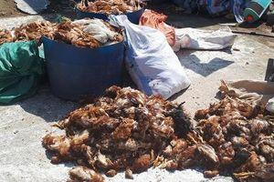 Hà Tĩnh: Điều tra nguyên nhân khiến hơn 1.200 con gà của một doanh nghiệp chết trong đêm