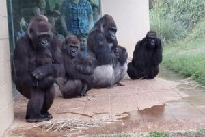 Gia đình khỉ đột trú mưa gây 'bão' cộng đồng mạng