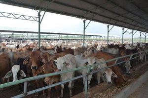 Phát triển chăn nuôi gia súc ăn cỏ