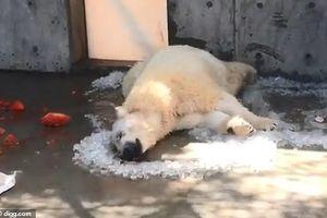 Gấu Bắc cực trong sở thú Mỹ cũng khốn khổ vì nắng nóng
