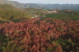 Vụ hơn 10 ha rừng thông bị chết do đầu độc: Khởi tố vụ án 'Hủy hoại tài sản'