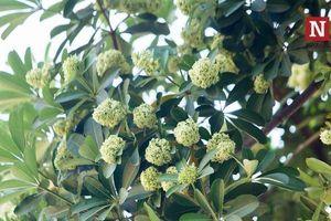 Hà Nội vừa biến mùa hạ thành đông, lại ngỡ ngàng ngắm hoa sữa nở giữa tháng 5