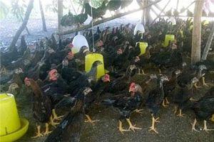 Phú Yên: Bỏ phố về quê nuôi gà, bán cho nhà hàng, đám xá với giá cao