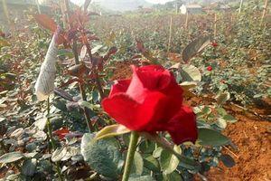 Sơn La: Trồng bạt ngàn hoa hồng trong thung lũng, kiếm vài trăm triệu
