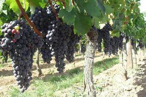 Lợi nhuận ngành trồng nho làm rượu vang bị tác động bởi khí hậu
