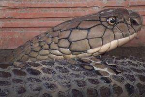 Cặp rắn 'khủng' dài hơn 4m bắt được dưới chân núi Cấm là rắn hổ mang chúa cực độc