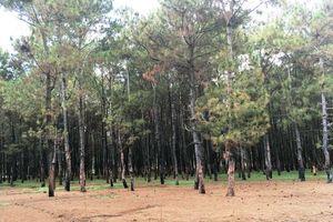 Gia Lai: Thêm 150 ha rừng thông bị xâm hại