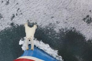 Gấu Bắc Cực tuyệt vọng đẩy du thuyền ra khỏi lãnh thổ
