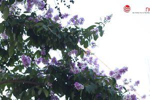 Giữa cái nắng chói chang, hoa bằng lăng rực tím rợp cả một trời Hà Nội