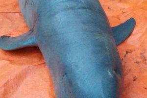 Bến Tre: Gia đình ngư dân đồng ý bàn giao con cá lạ cực quý hiếm