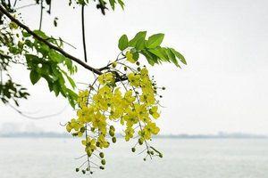 Hà Nội: Muồng hoàng yến nở rộ, 'dát vàng' Hồ Tây