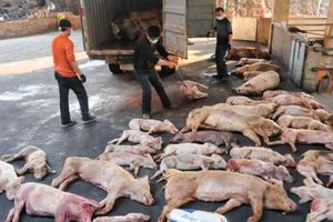 Ban Bí thư ra chỉ thị phòng chống dịch tả lợn châu Phi