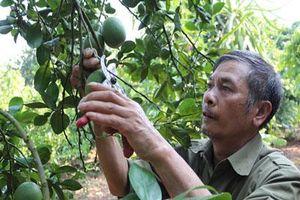 Sơn La: Bỏ cà phê trồng bưởi Diễn, nhà nông ở đây kiếm tiền nhiều hơn