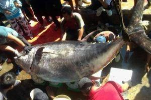 Ngư dân miền Trung liên tiếp câu được cá ngừ đại dương 'siêu khủng'