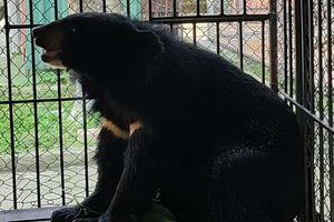 Một người bị bắt vì nuôi nhốt gấu trái phép