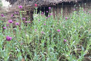 Lai Châu phá nhổ gần 7.000m2 cây thuốc phiện