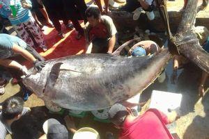 Bắt được cá ngừ vây vàng nặng gần 400kg, giá khoảng 30 triệu đồng