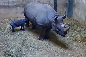 Tê giác đen quý hiếm đứng vững sau 53 phút chào đời tại sở thú Mỹ