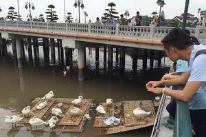 Hải Phòng: Thiên nga ốm do nắng nóng và bội thực