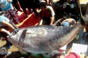 Đáng tiếc: Bắt được cá ngừ vây vàng khổng lồ hiếm có, lại bán quá rẻ