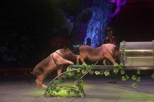 Trâu, lợn và đà điểu… sẽ thay thế động vật hoang dã trên sân khấu xiếc