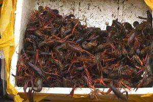 Gần 1 tấn tôm càng đỏ nhập lậu từ Trung Quốc bị bắt giữ tại Lào Cai