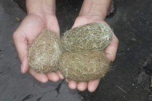 Chàng trai miền Tây sở hữu 3 vật thể lạ được cho là cát lợn quý hiếm