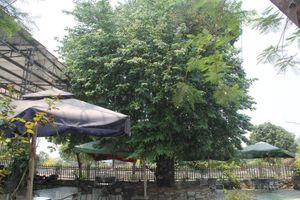 Lạ Nghệ An: Đổ xô kéo đến thắp hương 'cụ' khế trăm tuổi để lấy may
