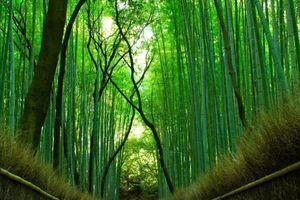 Rừng tre hàng triệu cây thẳng tắp có một không hai ở Nhật Bản