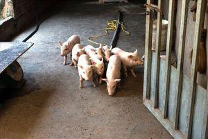 Hải Dương báo cáo thông tin về trục lợi từ dịch tả lợn Châu Phi