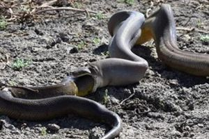 Rùng mình: Trăn bực mình phun ra một con rắn kích cỡ khủng