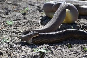 Rùng mình chứng kiến trăn phun ra con rắn đã nuốt chửng