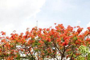 Ký ức mùa hè: Đỏ rực một góc trời