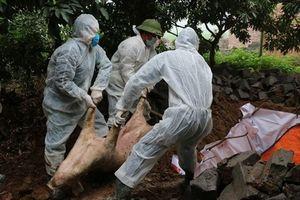 Bộ Nông nghiệp yêu cầu kiểm tra thông tin khai khống lợn dịch để lấy tiền