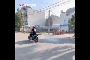 'Quái xế' nẹt pô xe máy bị đàn bò hơn chục con truy đuổi