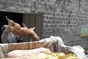 Dịch tả lợn châu Phi hoành hành: Những câu hỏi lớn về trách nhiệm?!