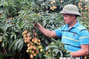 Vải sớm được mùa và được giá, nông dân Bắc Giang rất phấn khởi