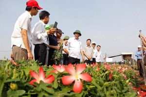 Quảng Trị: Nhân rộng mô hình sâm Bố Chính để tạo việc làm cho người dân