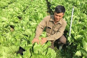 Sơn La: Nắng chang chang, trồng cải bẹ xanh ngút ngàn, bán lúc nào cũng đắt