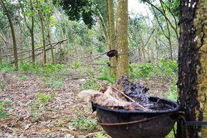 Thất bại đề án phát triển cây cao su tại Thanh Hóa
