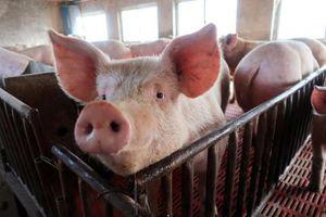 TP.HCM: Đề xuất lập 'nóng' 2 chốt kiểm dịch kiểm soát dịch tả lợn châu Phi