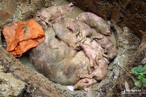 T.X Hoàng Mai tiêu hủy trên 7 tấn lợn nhiễm dịch tả lợn châu Phi