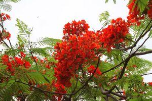 Ngắm sắc đỏ hoa phượng 'đốt cháy' trời hè Hà Nội
