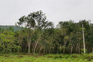 Thất bại đề án phát triển cây cao su tại Thanh Hóa - Kỳ cuối: Lối thoát nào cho cây cao su?