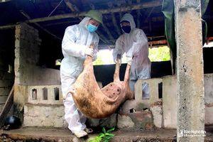 Nghệ An tiêu hủy 865 con lợn nhiễm dịch tả lợn châu Phi