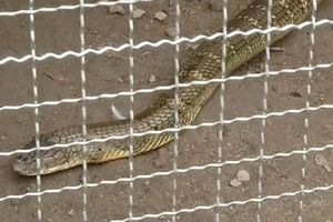 An Giang: Du khách vẫn nườm nượp kéo đến xem cặp rắn hổ mây 'khủng' bắt ở núi Cấm