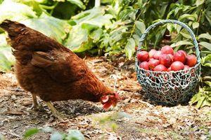 Cô gái xinh đẹp chẳng màng đến cuộc sống phố thị, tìm niềm vui với việc nuôi gà trồng cây
