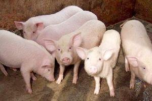Giá lợn hơi tiếp tục ảm đạm